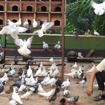 রং বেরংয়ে কবুতর পালন করছেন ঠাকুরগাঁওয়ে শিক্ষক আলতাফুর বিক্রি করেছেন বাড়ি থেকেই